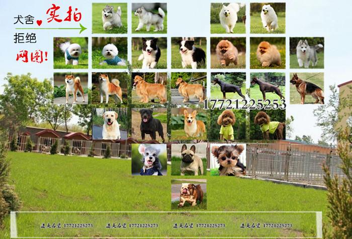 天津专业的泰迪犬犬舍终身保健康以品质惊世人