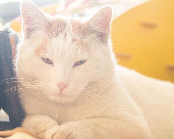 最优秀的售后中华田园猫