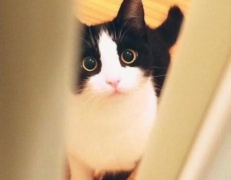 真实照片包纯中华田园猫