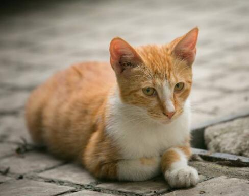 提供护养指导中华田园猫