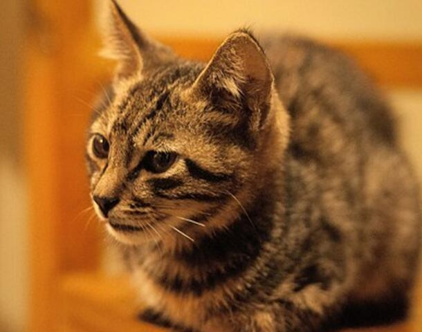 中华田园猫看父母照片喜欢加微信