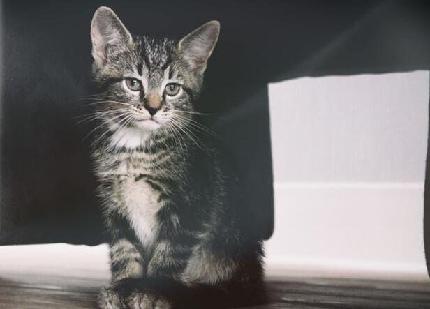 家养田园猫、矮脚猫和布偶猫,欢迎比价比售后