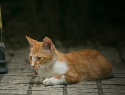 出售田园猫可送货签协议公母都有多窝