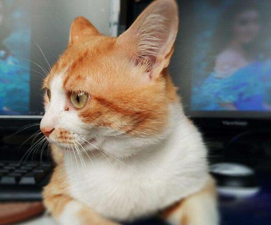 猫贩子请绕行中华田园猫
