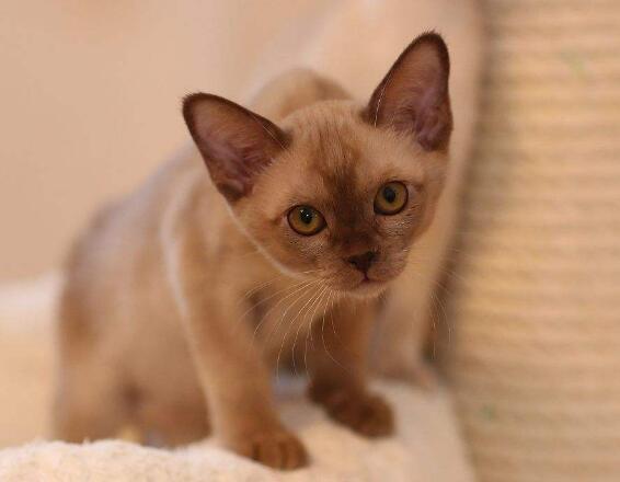 签订合法售后协议纯种缅甸猫期待来电咨询