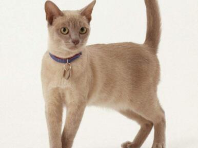 全国当天发货纯种缅甸猫包售后包退换