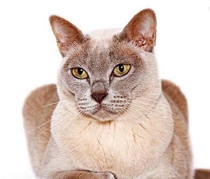 最大猫舍自家繁殖缅甸猫 包纯种 健康