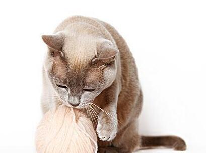 纯种家养缅甸猫品质保证健康多只可选