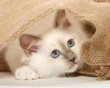 纯种缅甸猫优质售后服务