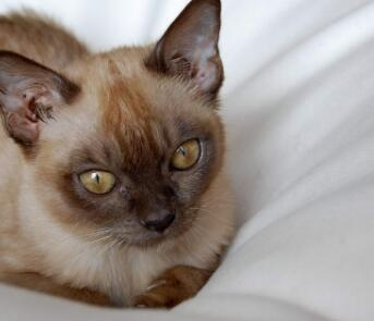 正规猫舍 专业繁育30多只缅甸猫找新家