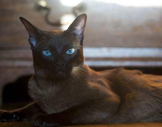出售自家纯种缅甸圣猫非常粘人可爱