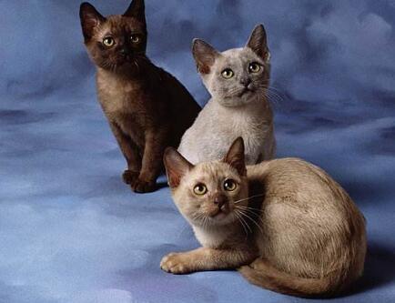 缅甸猫妹妹。纯种猫。三个月