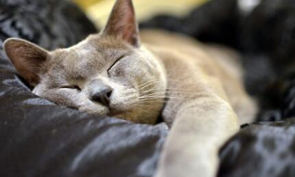 自家繁育的缅甸猫,保健康欢迎选购!!!