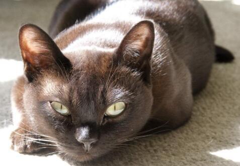 提供护养指导纯种缅甸猫