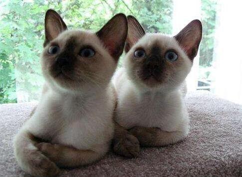 CFA标准缅甸猫繁殖纯种包健康,可发货可上门