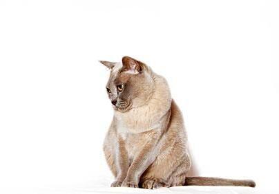 猫舍出售纯种缅甸猫幼猫