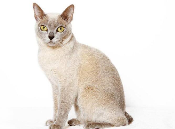 质保出售  精品缅甸猫 三个月包退换