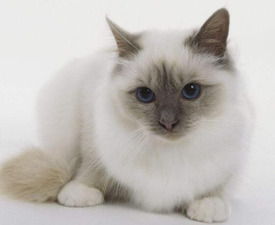精品缅甸猫、保纯种 保健康 保活