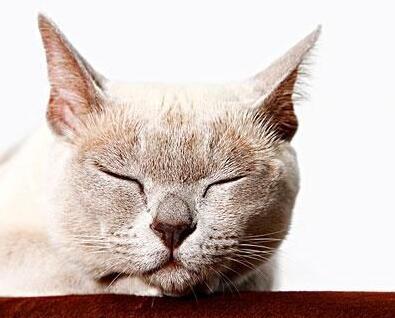 纯种缅甸猫活泼聪明  对主人忠心耿耿的缅甸猫
