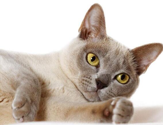 纯种缅甸猫喜欢的别错过请您放心选购