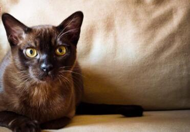 纯种缅甸猫市内免费送货