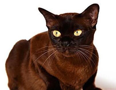 猫贩子请绕行纯种缅甸猫
