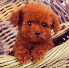 出售韩系血统乌鲁木齐泰迪犬 品质有保证售后服务好
