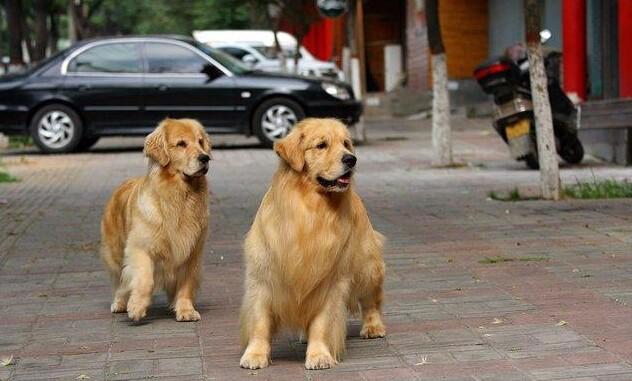 狗场全程实拍 广州美系金毛犬 可微信视频看狗挑选