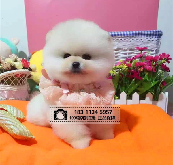 北京博美幼犬狐狸犬松鼠犬可爱俊介出售疫苗全可看狗