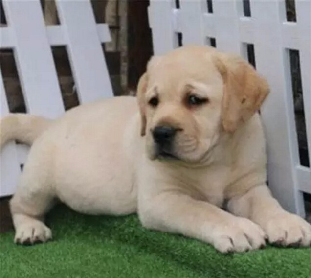 南昌售聪明活泼拉布拉多犬出售血统纯正保健康专业繁殖