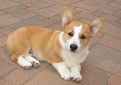 武汉出售柯基犬 威尔士短腿柯基疫苗驱虫已做全国包运