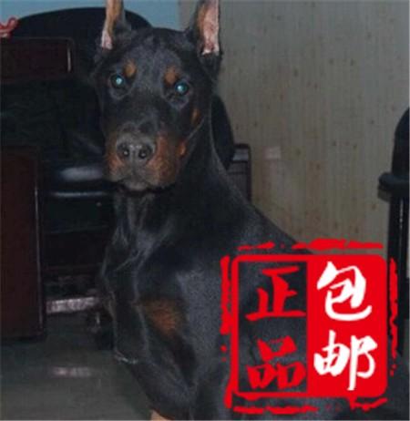 大骨架成都高加索犬出售 周边地区可免费送狗上门