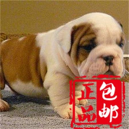 螺旋尾巴品相极佳的珠海斗牛犬出售中 随时视频看狗