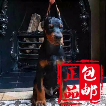 常年繁殖基地,出售纯种极品赛级,杜宾幼犬,