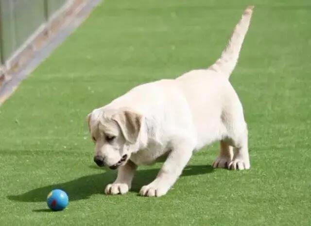 福州犬舍繁育中心神犬小七拉布拉多加微信用品免费送