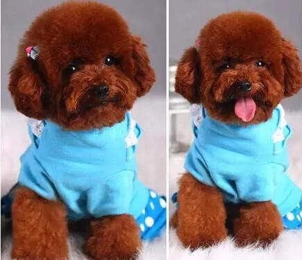 完美品相血统纯正的泰迪犬热卖中 温州市内可送货