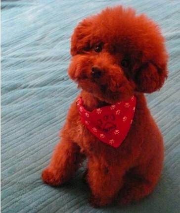 苏州出售各色泰迪犬 纯种茶杯犬 价格优廉 品相俱佳