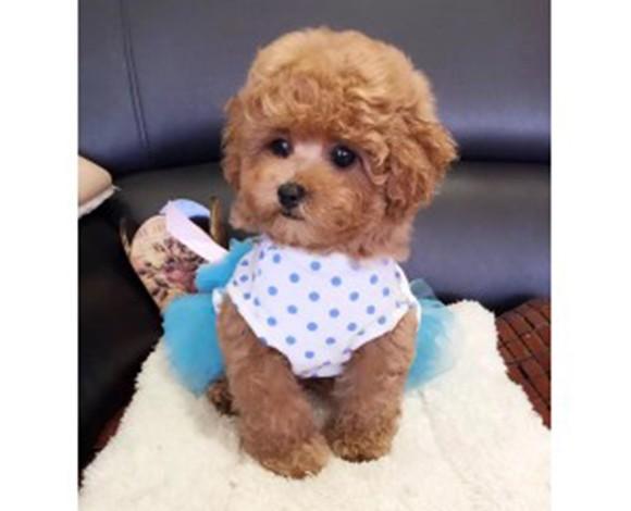 热销顶级优秀韩系血统福州泰迪犬 可办理血统证书