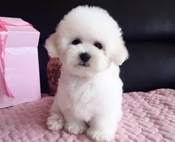 深圳养殖场直销拉布拉多幼犬 上门挑选泰迪犬有优惠