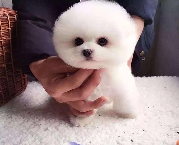 专业犬舍直销精品唐山博美犬质保出售签订活体