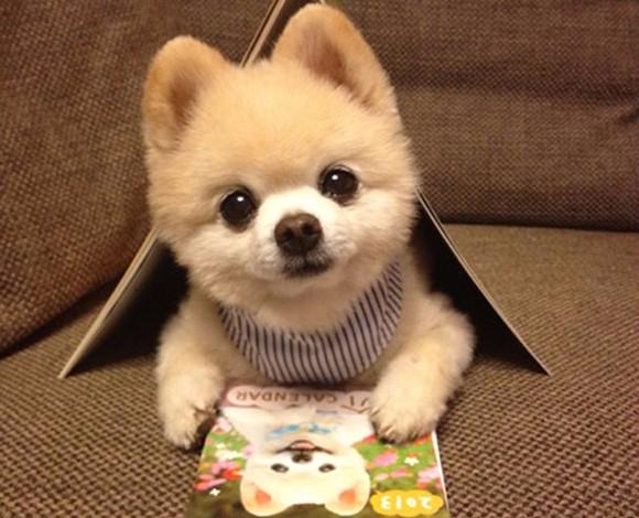 美系俊介犬哈多利球型博美犬出售白富美最佳选包养活