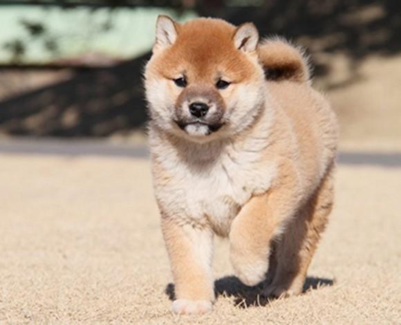 阿克苏精品小柴出售已注射疫苗健康有保障柴犬完美售后