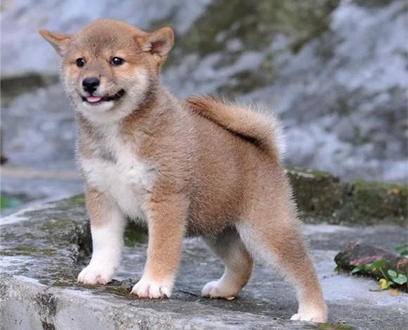 拉萨市出售健康柴犬幼犬 多只可选终身质保可视频看狗