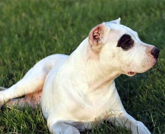 太原出售纯种赛级杜高犬多只可选正规犬舍出售签协议