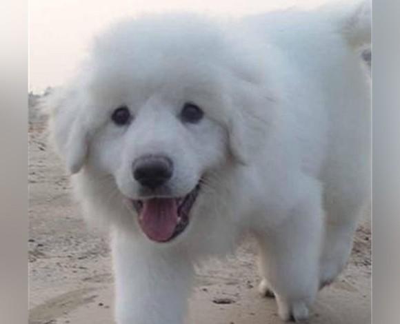 太原繁育纯种大白熊犬低价出售签协议三月包退换可发货