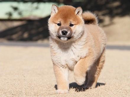 乌鲁木齐柴犬宝宝 小型短毛犬 质保低价出售颜色齐全