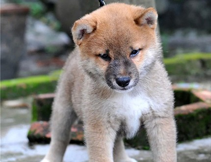纯种柴犬幼犬出售 照片实拍 有血统 芯片 多只可选