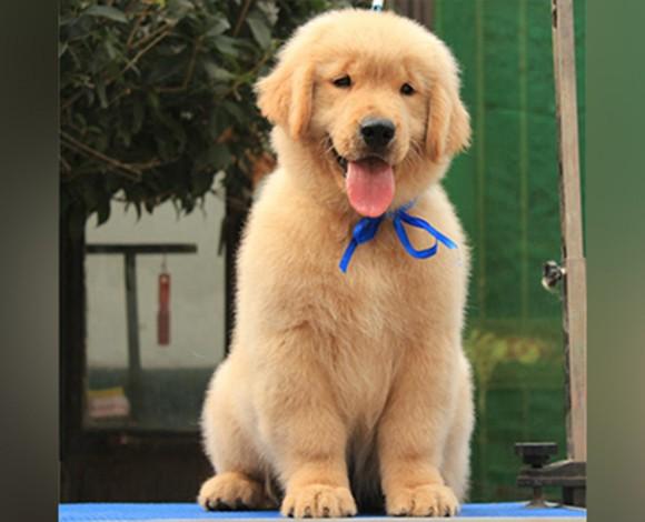 深圳金毛猎犬金毛幼犬专业繁殖高品质出售黄金猎犬