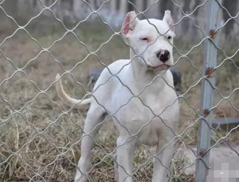 昆明出售纯种杜高犬 签订正式协议 保证质量