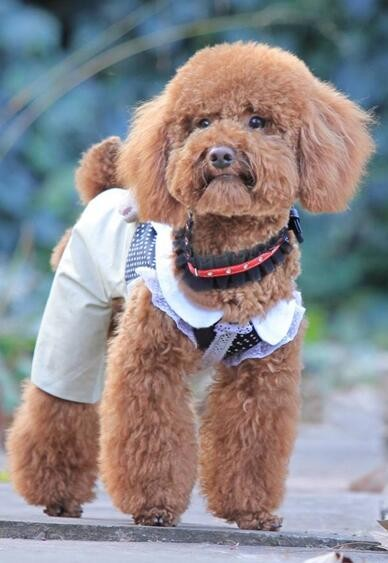 犬舍直销健康泰迪熊宝宝玩具型22厘米